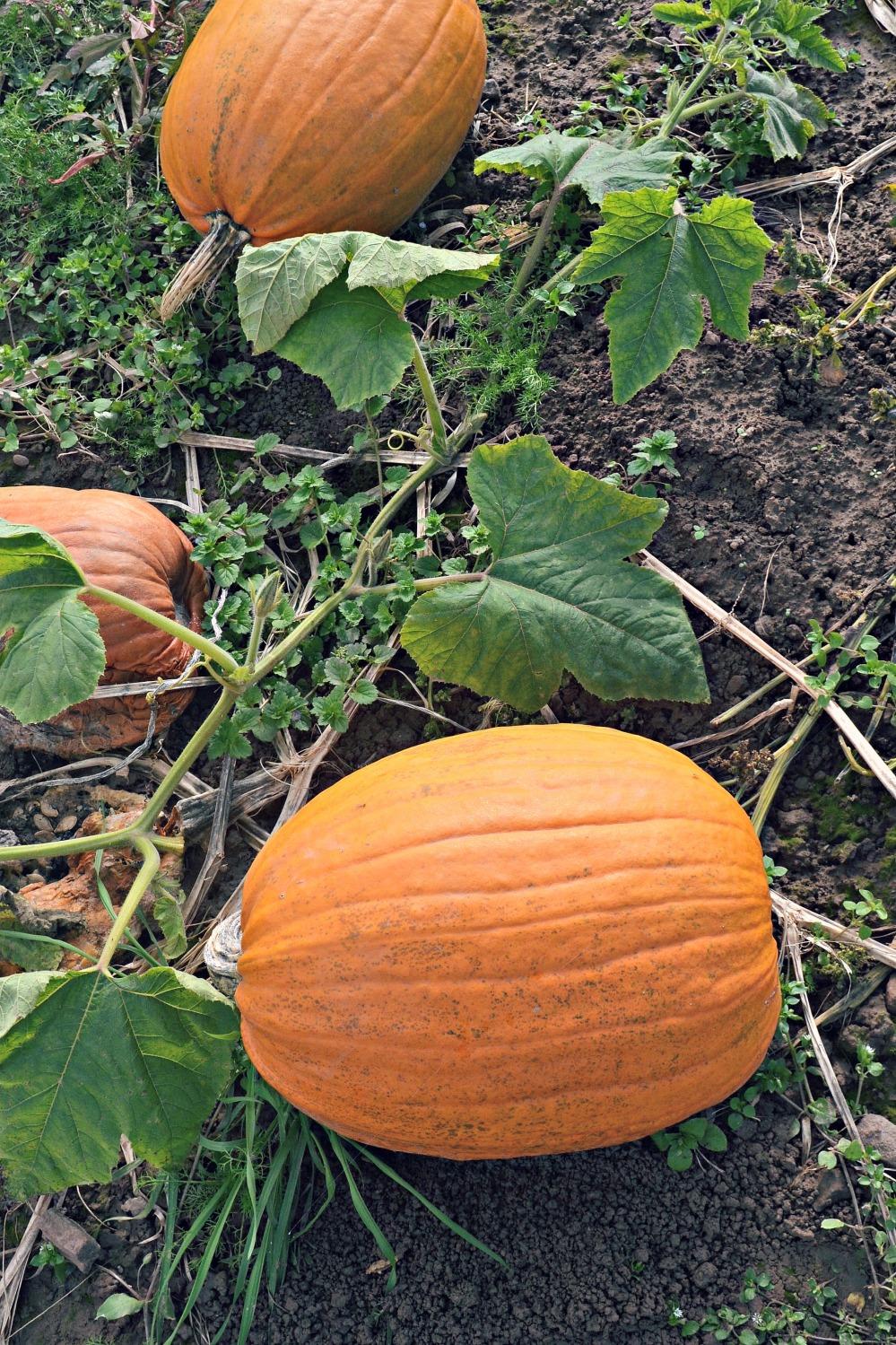 Pumpkins2014